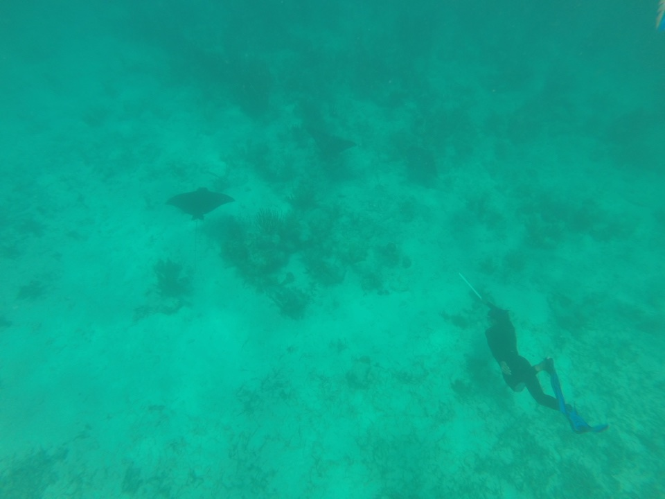 KIMIKE POINTING OUT A COUPLE OF SPOTTED EAGLE RAYS