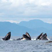 normhann.com-greatbear-whales1